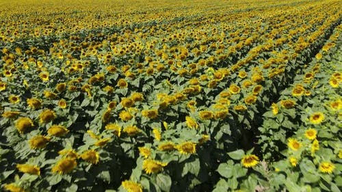 Large Field with Sunflowers on a Sunny Summer Day