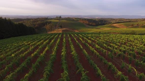 Aerial view of vineyard, Willamette Valley Oregon
