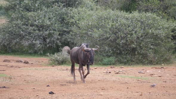 Thumbnail for Lonely wildebeest walking at the savanna