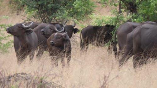 Herd of African buffalos