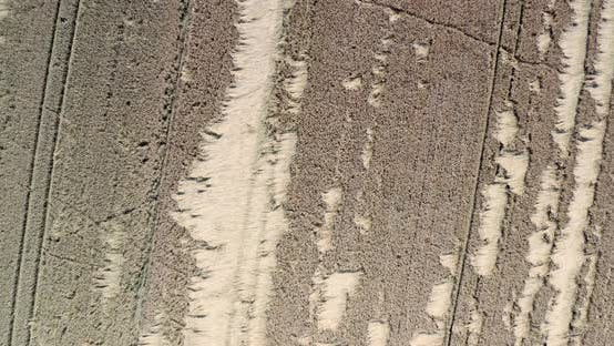 Wheat Field Destroyed By Wild Boars