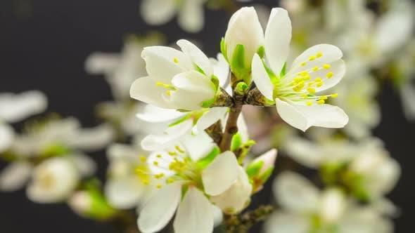 Thumbnail for Almond Flower Blossom 3