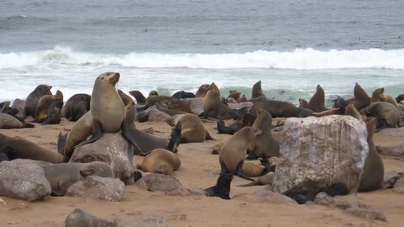 Thumbnail for Sea lion colony on the beach and rocks of Cape Cross Seal Reserve