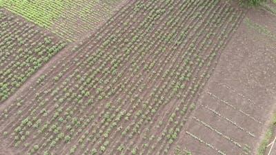 Sown fields. Green agricultural fields. Farmland.