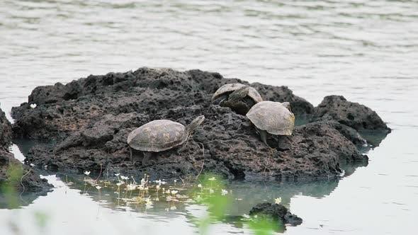 Thumbnail for Turtles Sunbathing