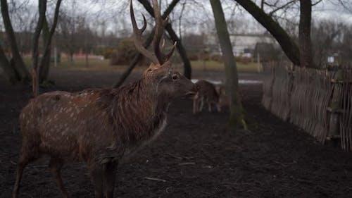 Horned Stag in Preserve Park