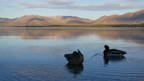 One mallard duck clean feather and another swim in Lake Tekapo