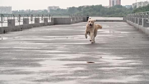 Thumbnail for Wonderful Labrador Dog Walking Along Pier