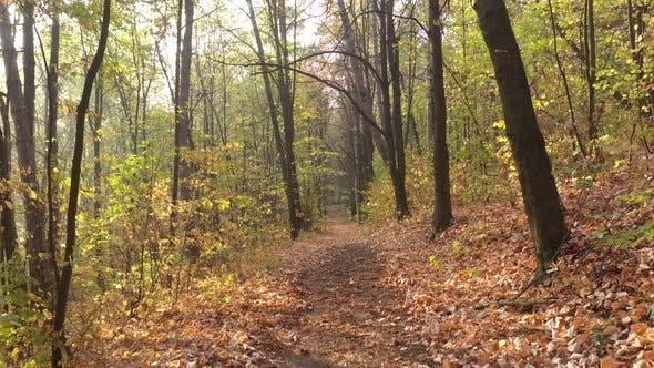 Bewegung durch die Waldbäume im Herbst 4K Drohne Video