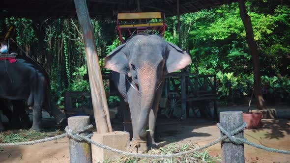Thumbnail for Elephant eating cane and having rest after riding in the jungle