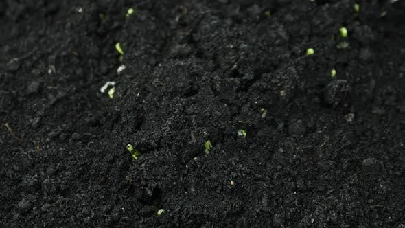 Thumbnail for Growing Plants in Spring Timelapse, Sprouts Germination Newborn Plant in Greenhouse Agriculture