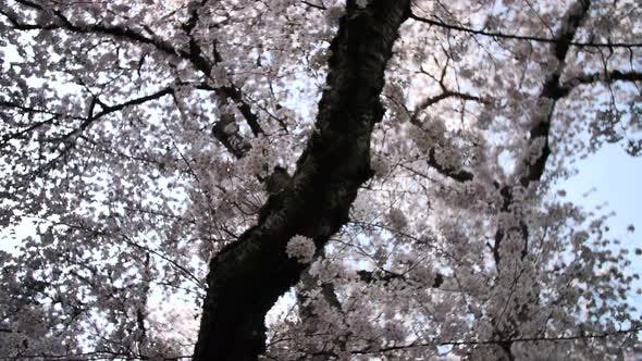 Cover Image for Japanese Cherry Blossom Bloom Pink Flowers Close Up Smooth Motion Tree Branch