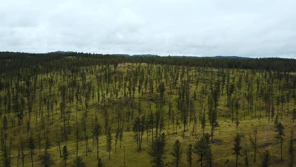 Thumbnail for Aerial Drone Shot of Large Forest Hilly Clean Landscape Covered with Thin Young Trees, Incredible
