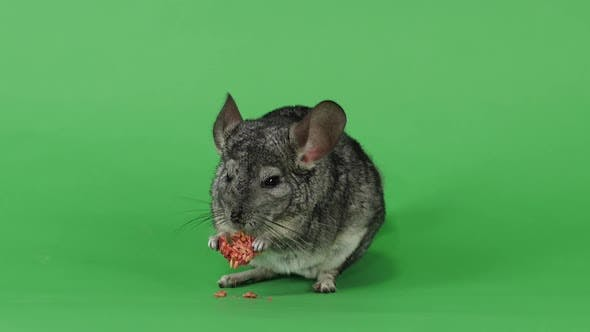 Chinchilla Eats Special Food for Rodents From Seeds. Green Screen