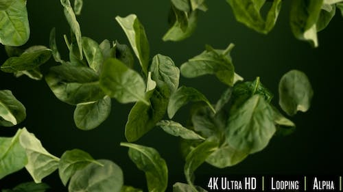 4K Fresh Healthy Green Spinach Leaves Tumbling Looping Background