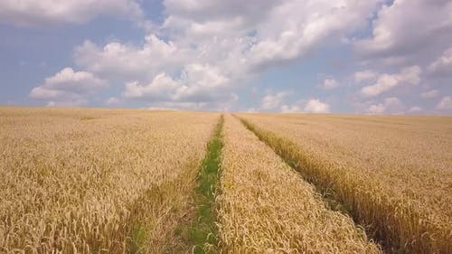 Aerial view of yellow agriculture wheat field ready to be harvested in late summer.