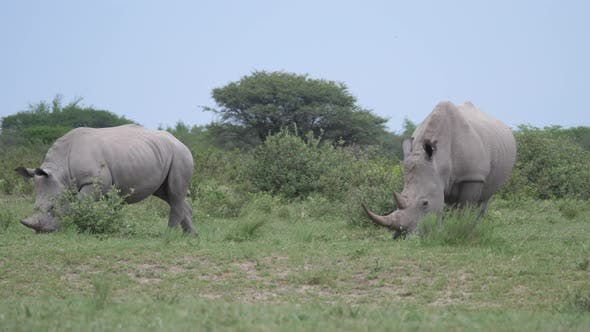 Thumbnail for Rhino mother and young grazing