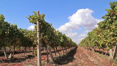 Rows of Vineyards with Blue Sky