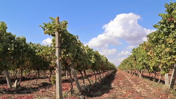 Thumbnail for Rows of Vineyards with Blue Sky