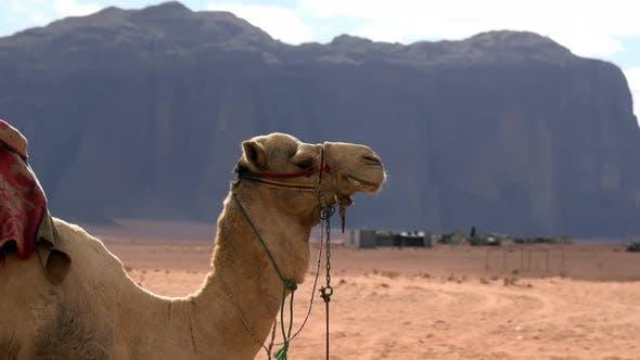 Thumbnail for Camel in the Desert