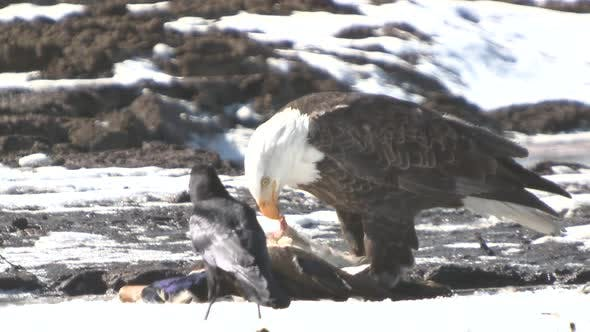 Thumbnail for Bald Eagle Adult Lone Eating Feeding in Winter Predation Kill Carnivore Duck Prey