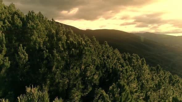 Flying Above Pine Forest In A Day Time