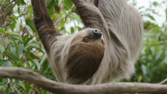 Thumbnail for Sloth on tree