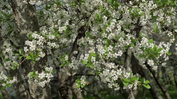 Thumbnail for Cherry Trees Covered in White Blossoms in Springtime