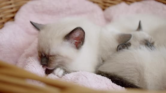 Thumbnail for Thai Cat Siamese Kittens Sleep Little Kittens in a Basket. Slide Camera