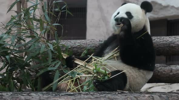 Thumbnail for Hungry Panda Eating Bamboo Stems. Cute