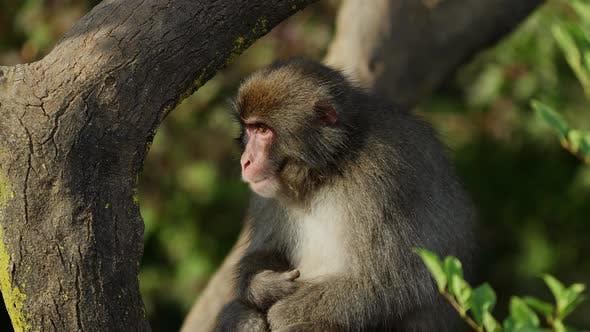 Thumbnail for Japanese Macaque Shot Near Kyoto Japan