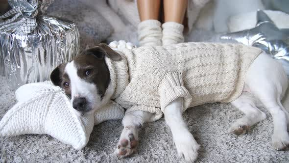 Thumbnail for Dog Lying In Cozy Warm Sweater At Home. Soft, Comfy, Hygge Lifestyle.