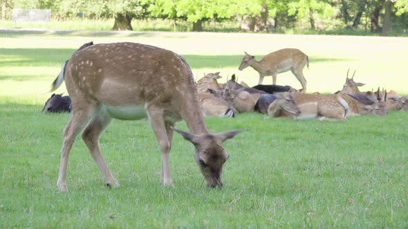 Fallow Deer Doe Grazes in a Meadow By a Forest on a Sunny Day - Closeup