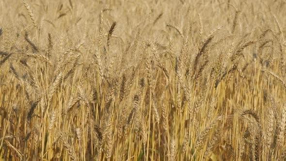 Thumbnail for Barley
