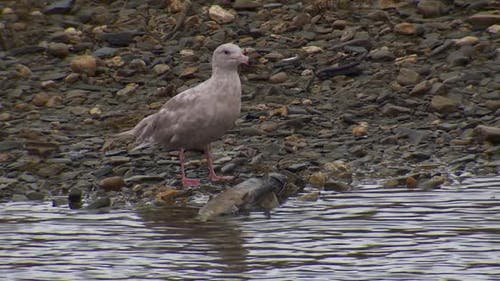 Mew Gull Immature Eating Feeding in Autumn River Stream Creek in Alaska