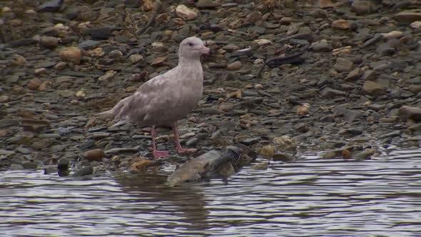 Thumbnail for Mew Gull Immature Eating Feeding in Autumn River Stream Creek in Alaska
