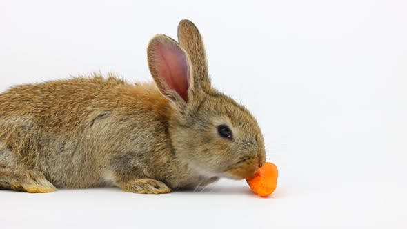 Little Fluffy Cute Brown Rabbit with Big Ears Eating a Ginger Carrot on a Gray Background in the