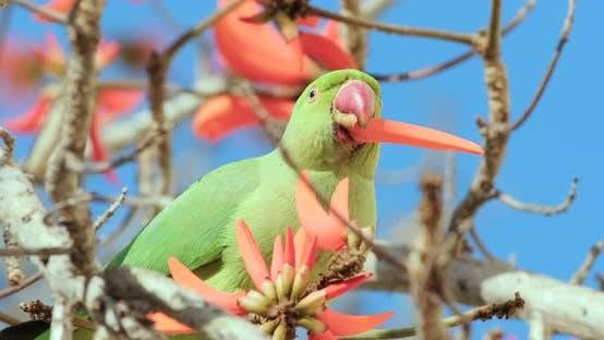 Un perroquet vert boit du nectar de fleurs rouges