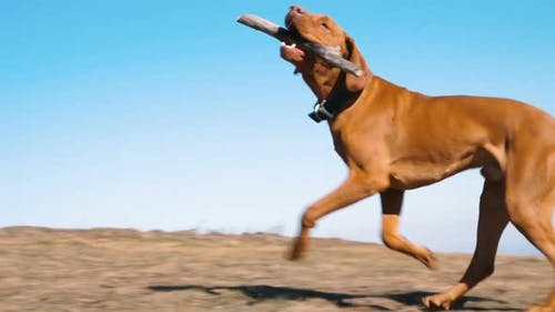 Young Happy Hungarian Vizsla Dog Running with Stick in Mouth. Slow Motion