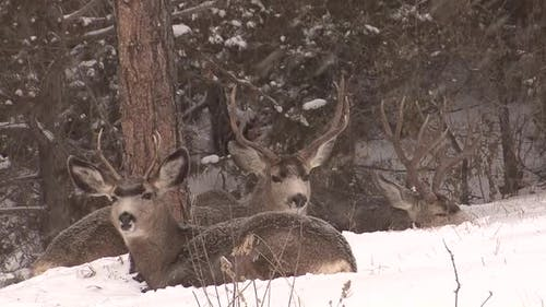 Mule Deer Buck Male Adult Several Sitting Resting Bedded in Winter Large Antlers