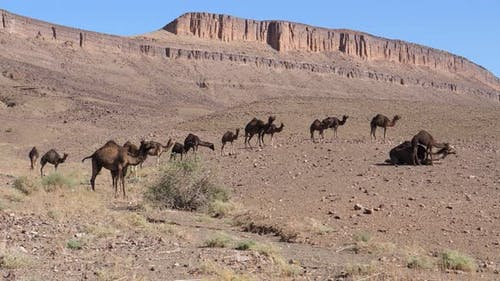 Big herd of dromedary camel families in the sahara