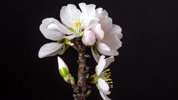 Thumbnail for Almond Flower Blossom Dolly Timelapse 5