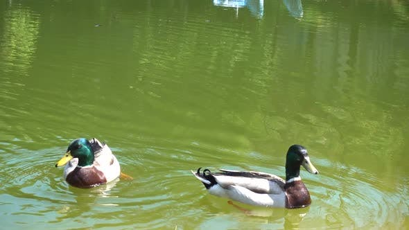 Thumbnail for Ducks in the Lake