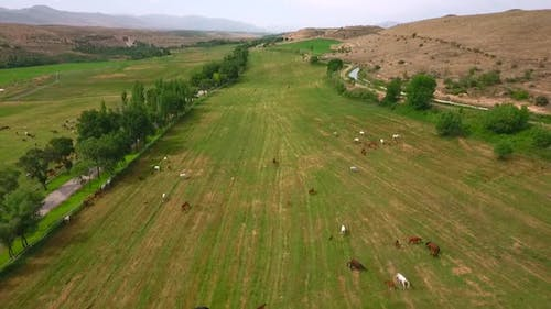 Aerial View Horses Grazing On The Field