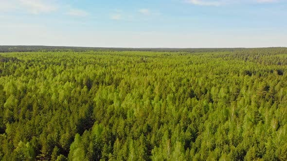 A Huge Thicket of Coniferous Green Forest