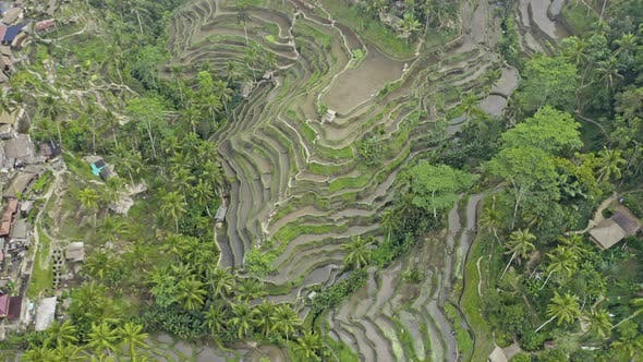 Drone Over Ridged Tegalalang Rice Terraces