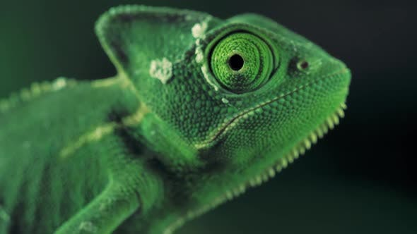 Thumbnail for Green Vailed Chameleon Seen From One Side