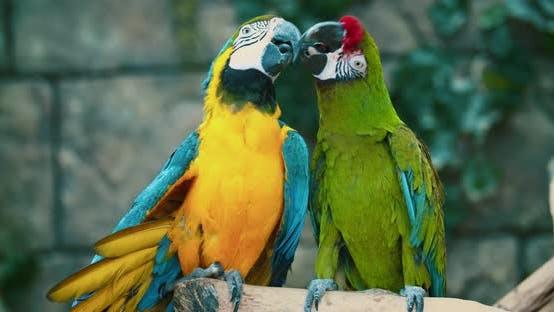 deux grands perroquets de couleur ara baiser