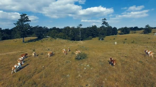 Thumbnail for Aerial of Animals in Field