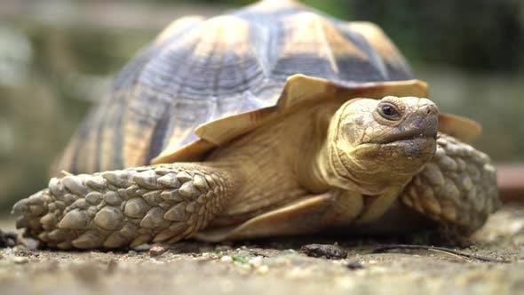 Sulcata tortoise blink eye
